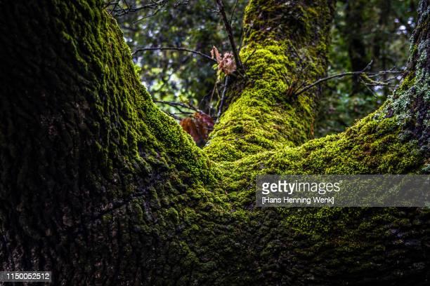 moss covered tree - コケ ストックフォトと画像