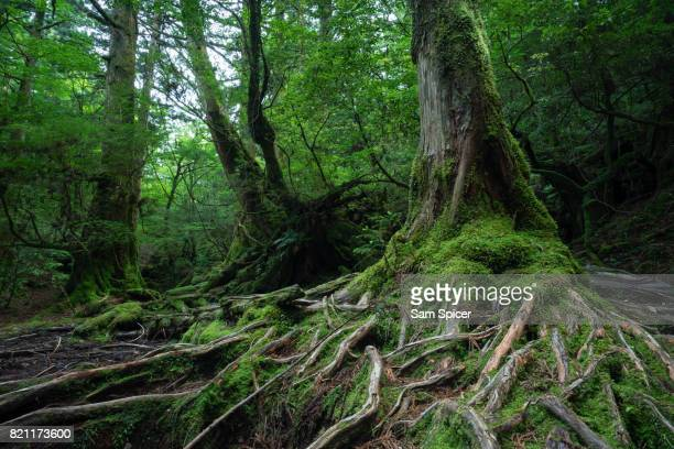 Moss covered tree roots in Rainforest of Yakushima, Japan