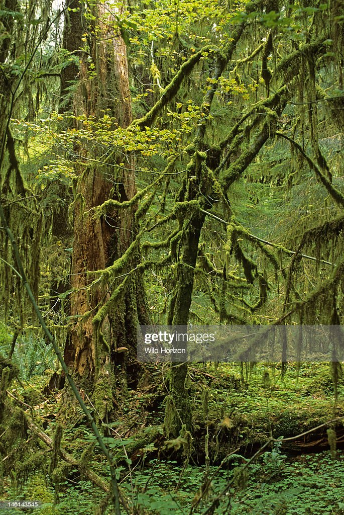 Moss draperies on vine maple in temperate rainforest of the Pacific Northwest Acer circinatum Sitka spruce visible behind vine maple Spruce Nature Trail, Hoh Rain Forest, Olympic National Park, Washington, USA : News Photo