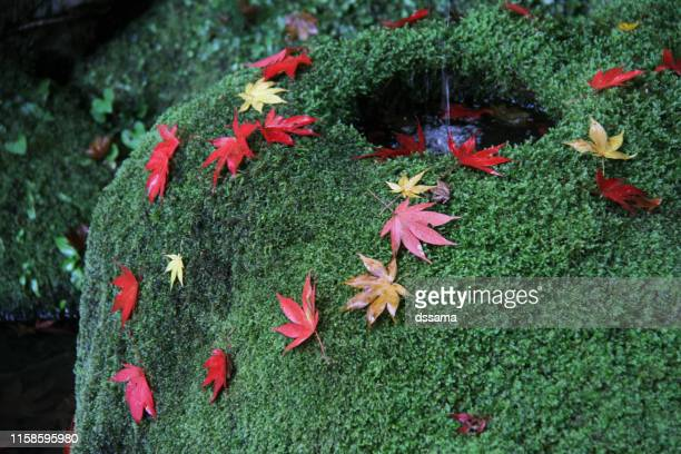 moss garden of kyoto japan - japanese maple stock pictures, royalty-free photos & images