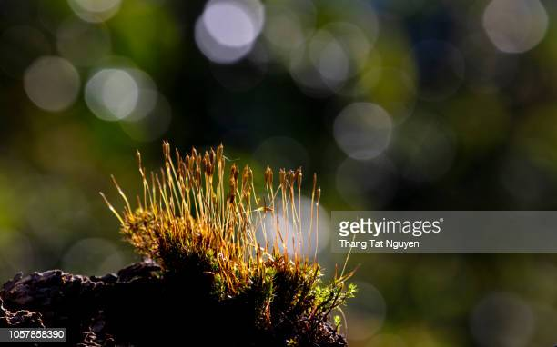 moss growing in old snag - snag tree stock pictures, royalty-free photos & images