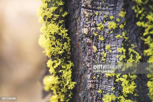 Moss growing on a Douglas fir tree at the summit of Black Knight Mountain, Kelowna, British Columbia, Canada