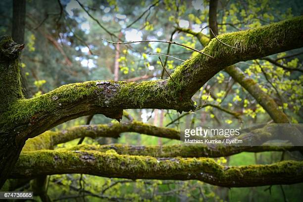 Moss Growing On Trees At Forest