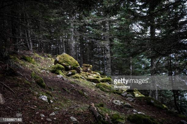 Moss growth covers rocks on the bed of a forest in the Aran Valley near Les, Spain, on Tuesday, April 20, 2021. The inquiry into the death of a bear...