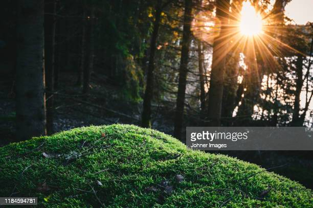 moss in forest - moss stock pictures, royalty-free photos & images