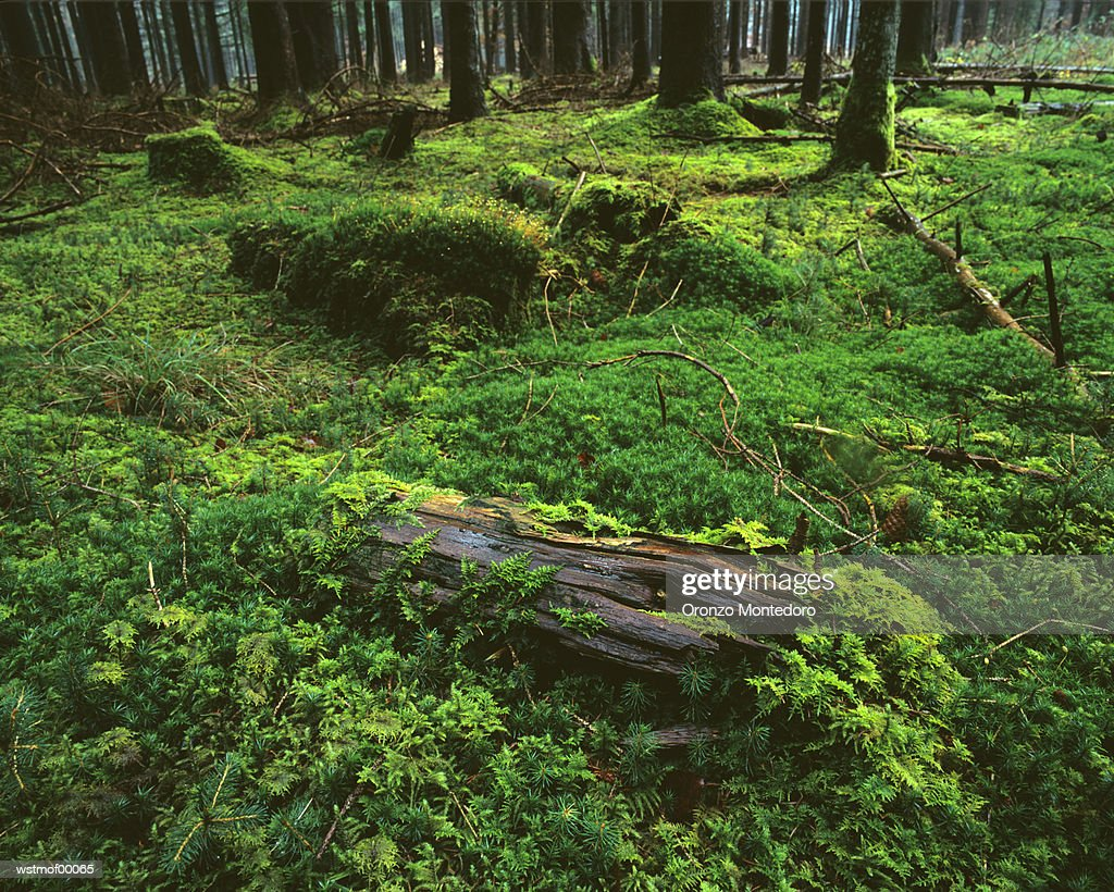 Moss in spruce forest, Bavaria, Germany : ストックフォト
