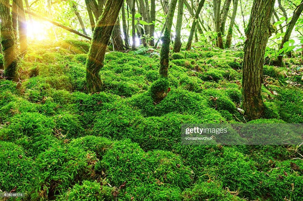 moss en el bosque  : Foto de stock