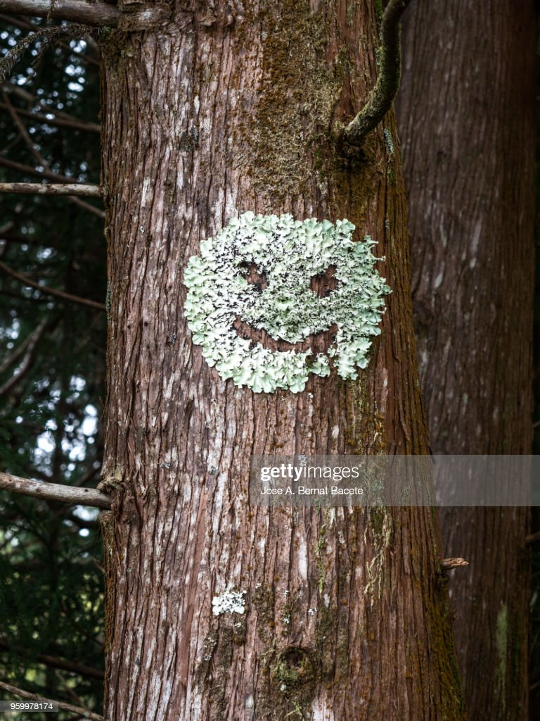 Moss in the trunk of a tree with the face of a human figure of terror, interior of a humid forest of big trees and thousand-year-old trunks in island of Terceira, Azores, Portugal. : Stock-Foto