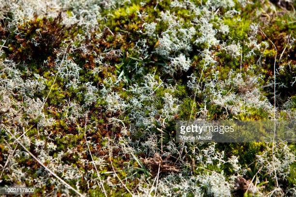 moss, nationalpark koenigshafen, westellenbogen, sylt island, north frisia, schleswig-holstein, germany - nationalpark stock pictures, royalty-free photos & images