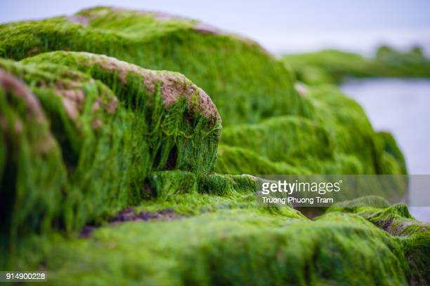 Moss on ancient rocks at Co Thach beach, Tuy Phong, Binh Thuan province.