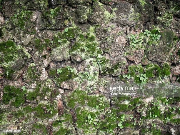 moss on stone wall in florence, italy - moss stock pictures, royalty-free photos & images