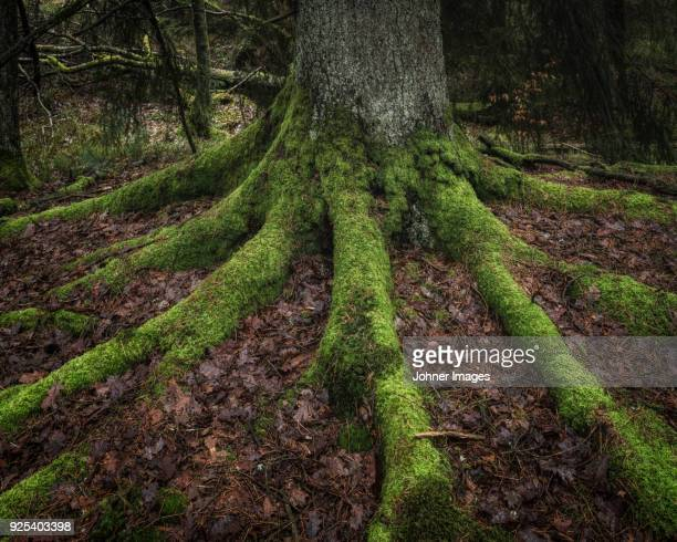 moss on tree roots - tree roots stock pictures, royalty-free photos & images