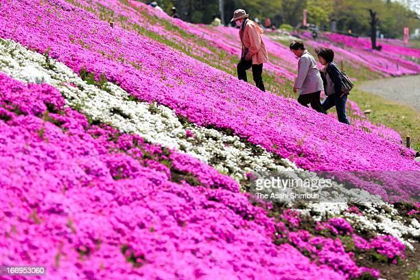 Moss Phlox are in full bloom on April 12 2013 in Sagamihara Kanagawa Japan