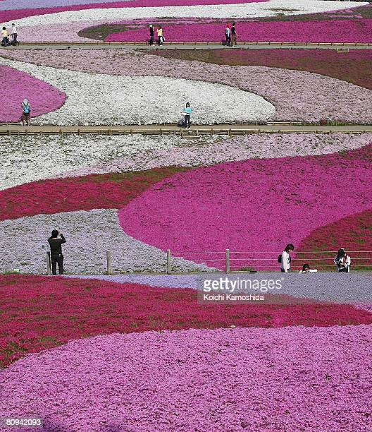 Moss phlox flowers are seen in full bloom in Hitsujiyama Park on May 12008 in Chichibu Saitama Prefecture Japan Over 400000 pink white and purple...