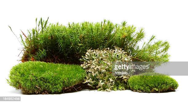 moss - bush stock pictures, royalty-free photos & images