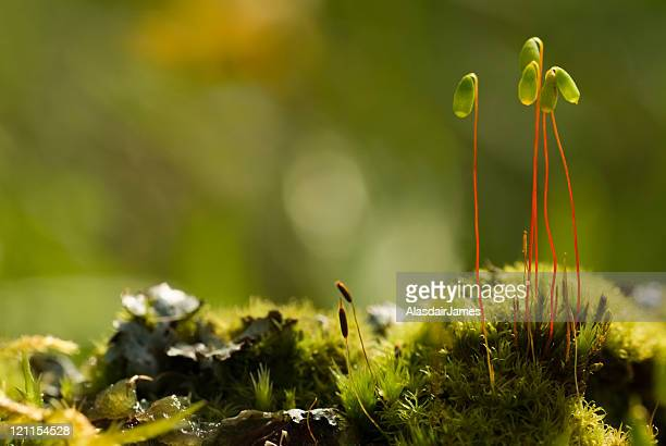 moss spore capsules - spore stock pictures, royalty-free photos & images