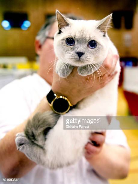 Mossbelle Snow-Maiden, a Blue Colourpoint British Shorthair cat at Merseyside Cat Club Championship show at Sutton Leisure Centre on June 3, 2017 in...