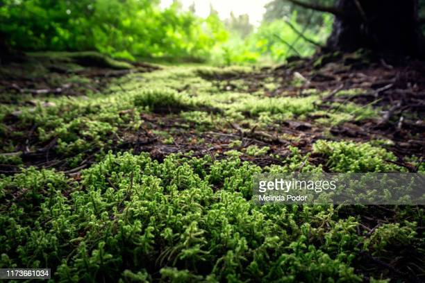 moss-covered forest floor - forest floor stock photos and pictures
