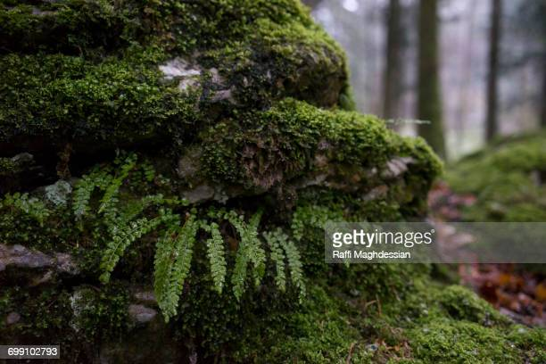 A moss-covered rock with some fern