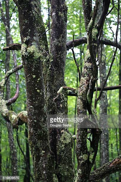 moss-covered tree trunk and branches in temperate wet forest, Dolly Sods wilderness, West Virginia, USA