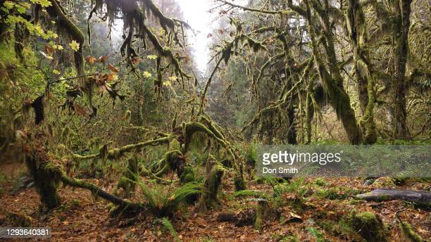 moss-covered trees in hoh rain forest, olympic national park, wahington state - stock photo - don smith stock pictures, royalty-free photos & images
