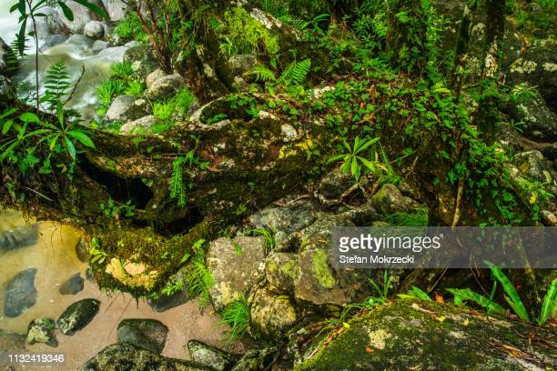 mossman gorge, daintree national park, queensland, australia - epiphyte stock pictures, royalty-free photos & images