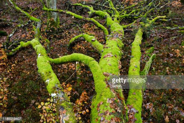 mossy beech tree with branches that fell on the ground one autumn day - vaxjo stock pictures, royalty-free photos & images