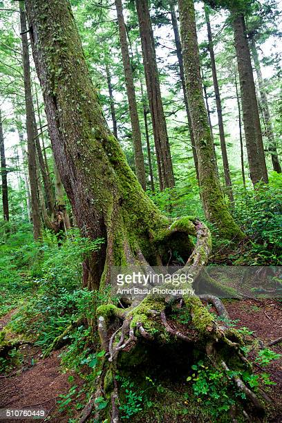 mossy forest at cape flattery, washington - cape flattery stock photos and pictures