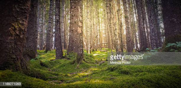mossy forest with sunlight - forest floor stock photos and pictures