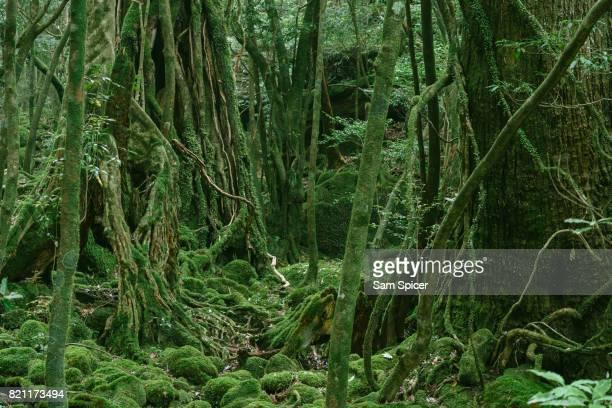 mossy forest, yakushima, japan - mousse végétale photos et images de collection