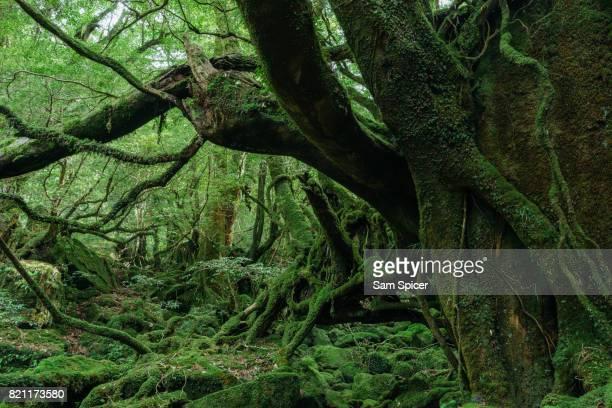 mossy forest, yakushima, japan - コケ ストックフォトと画像