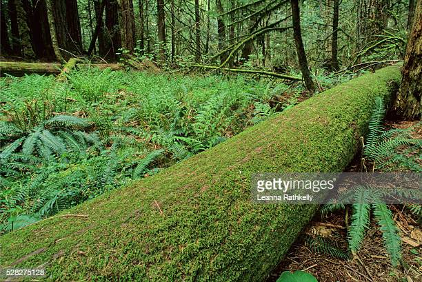 Mossy Log And Boston Ferns In West Coast Rainforest, Vancouver Island, Bc Canada