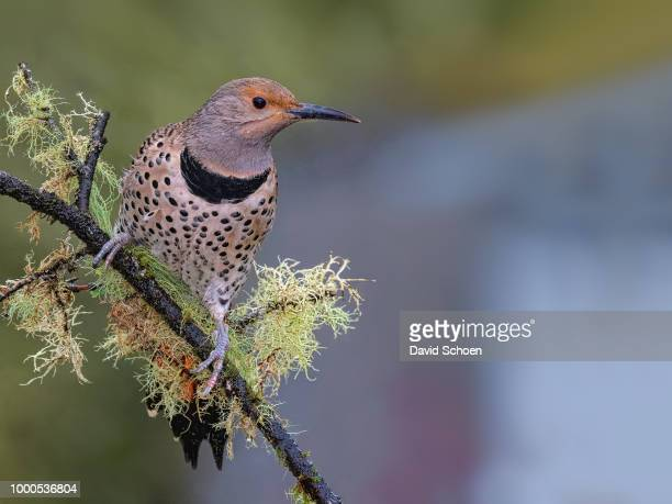 mossy northern flicker - flicker stock pictures, royalty-free photos & images