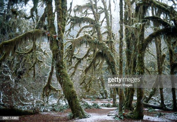 Mossy Olympic Peninsula temperate rainforest, Sitka spruce, Pacific Northwest, Washington state Picea sitchensis.