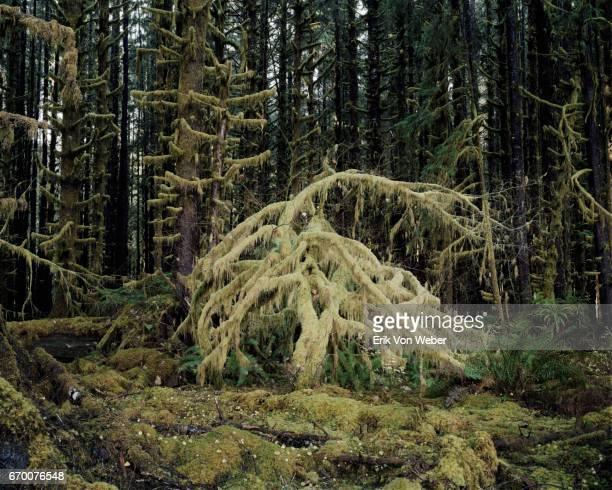 Mossy tree in Rainforest