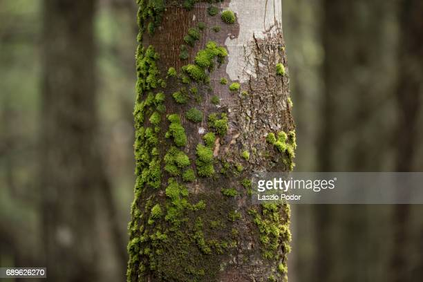 mossy tree trunk - moss stock pictures, royalty-free photos & images