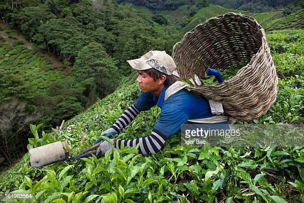 Most of the workers at Cameron highlands tea plantations in Malaysia are nepalese immigrants, and their supervisors would be Malaysian Indian....