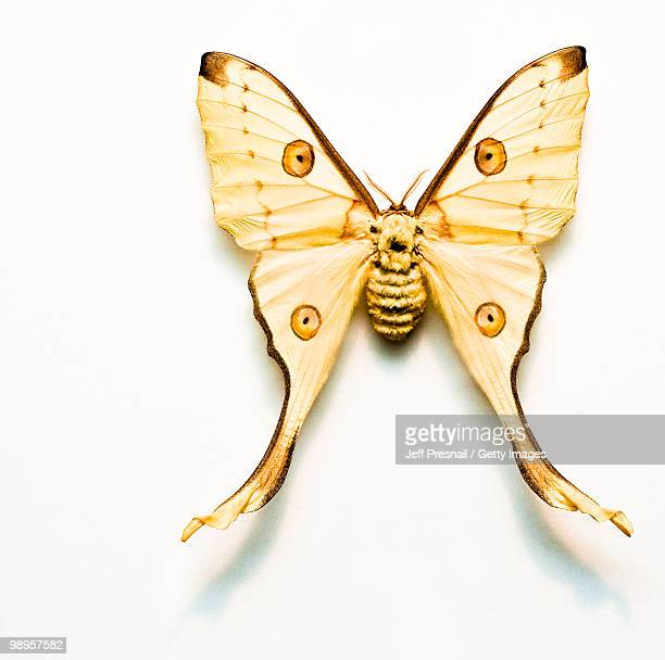moth and shadow - luna moth stock pictures, royalty-free photos & images