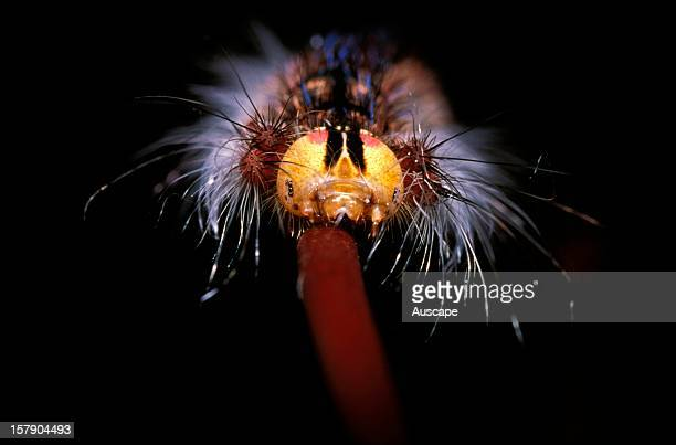 Moth detail of caterpillar showing six eyes on either side of head Australia
