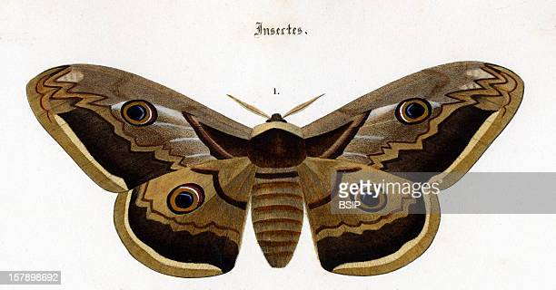 Moth Engraving Of 1869 Captionned Attacus Pavonia Major
