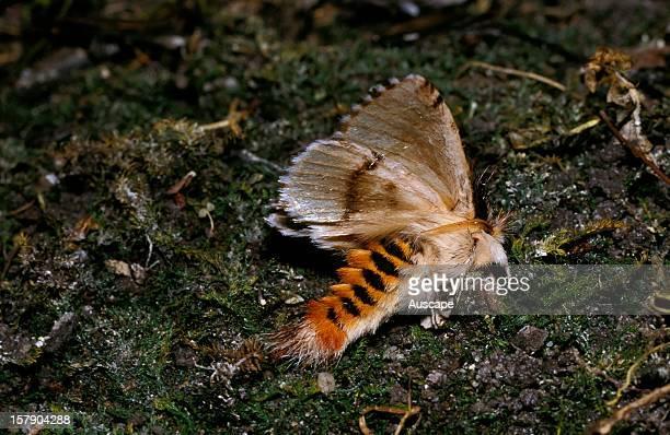A moth feigning death Australia