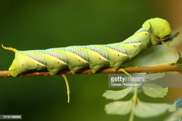 Moth Larvae