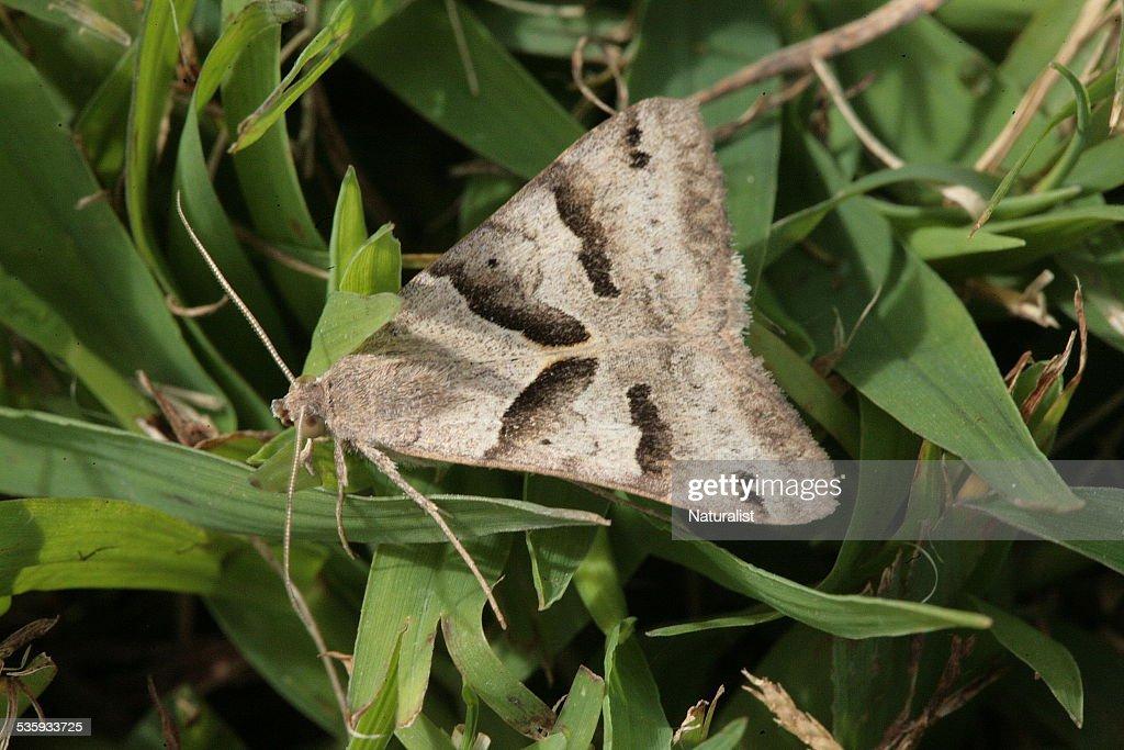 Moth on grass : Stock Photo