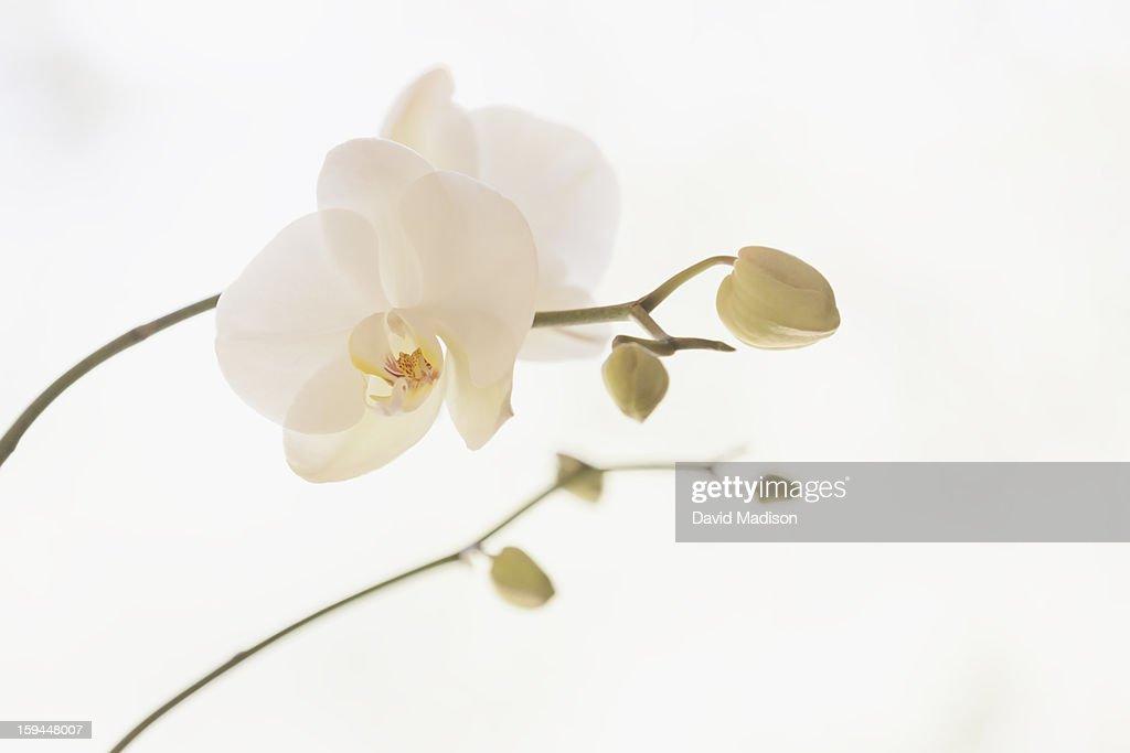 Moth orchid (Phalaenopsis) : Stock Photo