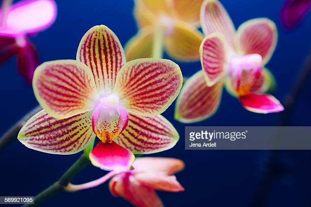 Moth orchid yellow striped orchid phalaenopsis