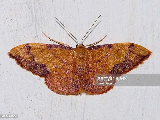 Moth (Idaea ostrinaria)