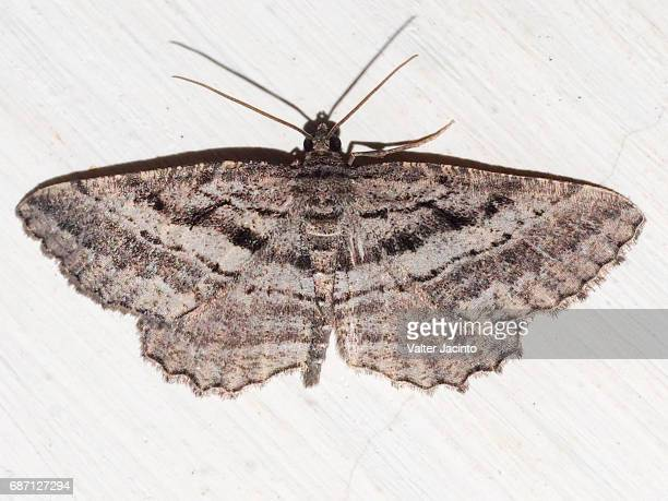 moth (rhoptria asperaria) - papillon de nuit photos et images de collection