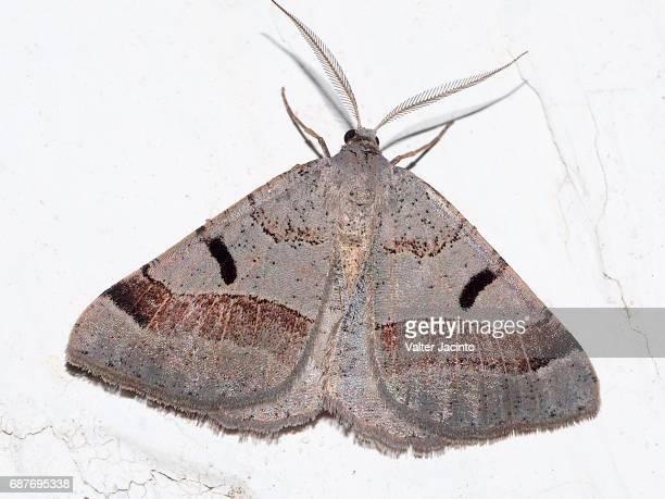 Moth (Itame vincularia)