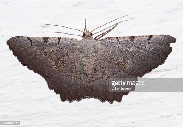 Moth (Gnopharmia stevenaria)
