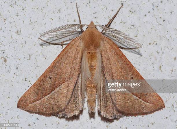 moth (compsoptera opacaria) - geometridae stock photos and pictures